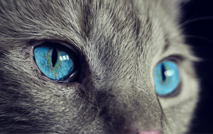 Zarejestrowana hodowla kotów brytyjskich