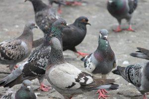 Zastosowanie kolców na gołębie