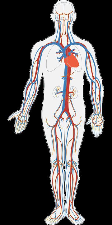 modele anatomiczne - sklep