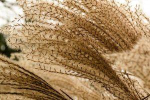 Okazałe i zdrowe miskanty olbrzymie oraz sadzonki