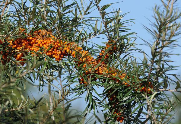 Właściwości zdrowotne oleju rokitnikowego