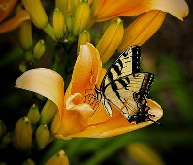 Charakterystyka lili golden spendor